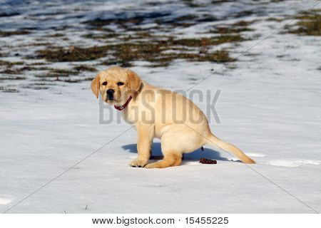 Pooping perro