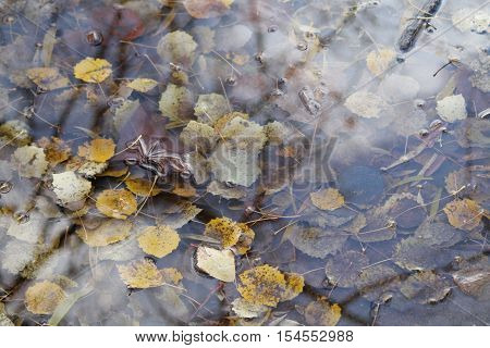 yellow leaves of aspen tree sink in crystal water of the puddle with rays on the sun play on surface