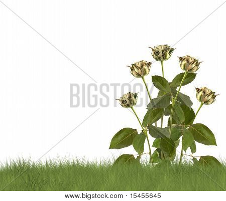 Growing Roses On The White Background. Conceptual Image.