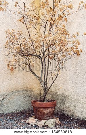 Dry tree in flower pot in hot tropical conditions