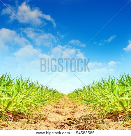Plantation of sugar cane on Mauritius Island. Agriculture in tropical climate. Renewable energy source (biomass and ethyl alcohol - fuel or drink).