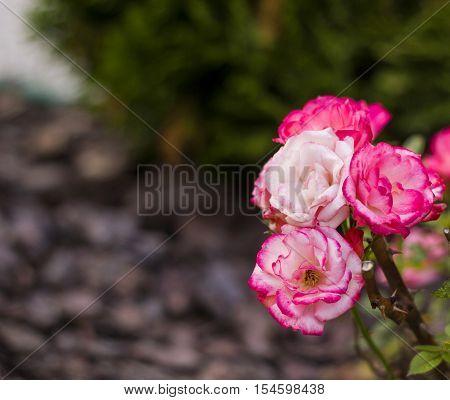 Small pink bush roses in summer garden