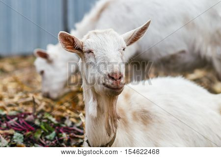 White Goat At The Village In A Cornfield, Goat On Autumn Grass, Goat Head Looks At The Camera
