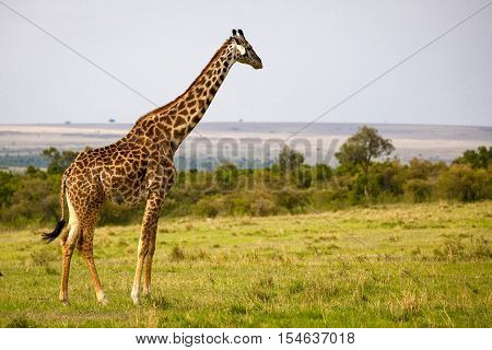 Large male giraffe looking at vista of Masai Mara