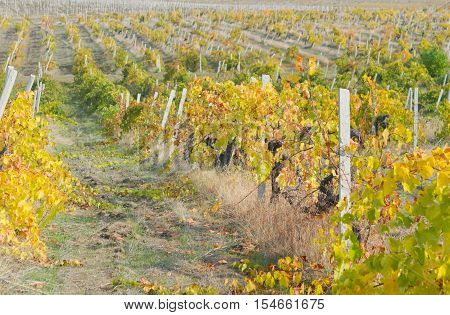the Autumnal view of a big  vineyard