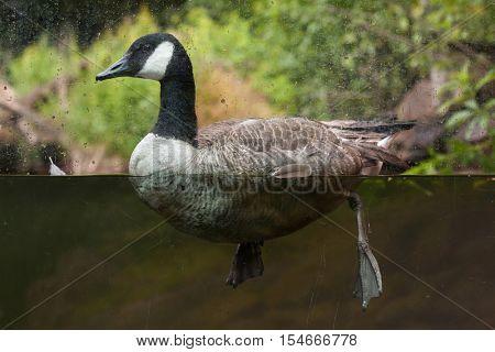 Canada goose (Branta canadensis). Wildlife animal.
