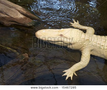 Albino Alligator Closeup