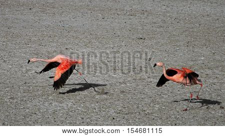 Flying chileflamingos, lake Tajsara, southern Bolivia South America