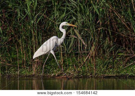 great white egret (egretta alba) in Danube Delta Romania