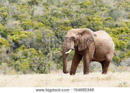 Bush Elephant Standing Proud With Huge Tusks