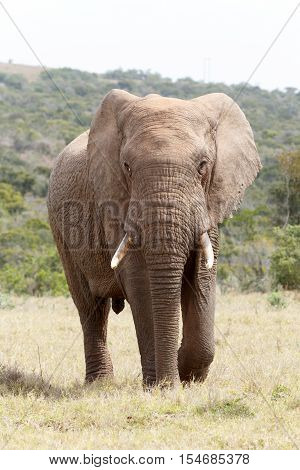 Bush Elephant Walking Up To You