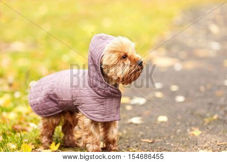 small little dog Yorkshire terrier in hood femile outdoor dress jacket on the autumn fall background
