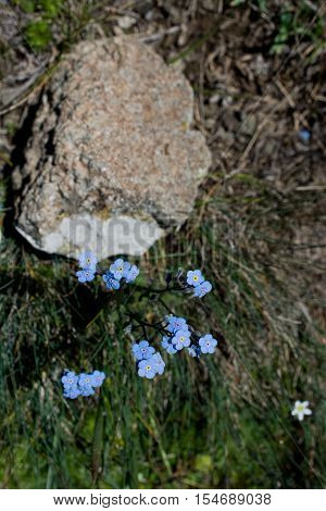 Beautiful Myosotis Flowers In Nature