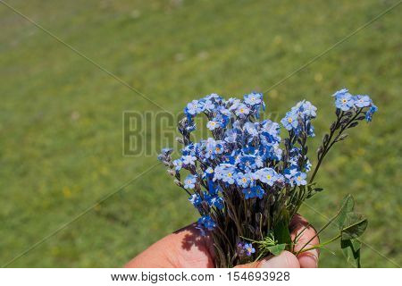 Beautiful Myosotis Flowers In Hand In Nature
