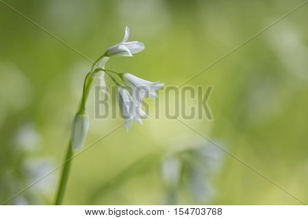 Allium triquetrum a white flowering plant also commonly called angled onion flowering onion onionweed stinking onion three corner garlic three cornered garlic or three cornered leek just to name a few. Very soft focus used with a natural green bokeh backg