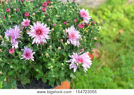 Flowering Fall Mums. Pink Chrysanthemum Flower Background with copy space