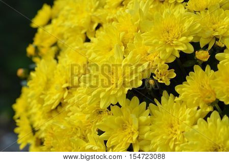 Colorful yellow fall mums, wild flowers in the summer on a bright sunny day