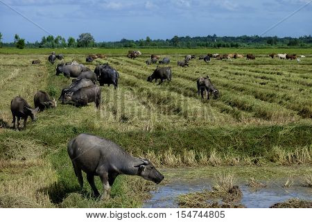 The way they were on the rice field of buffaloes, Thailand