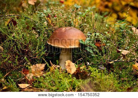 The photo shows mushroom Boletus edulis. It is during the growing season in their natural habitat in the forest.