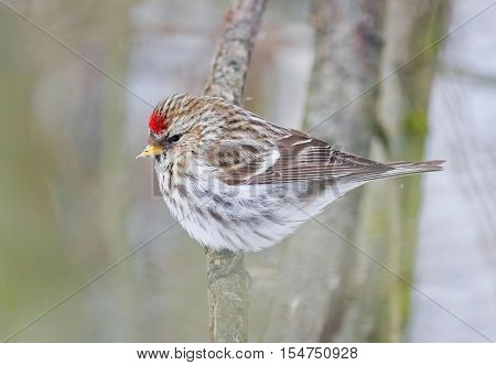 bird male Redpolls sitting in the Park on a branch