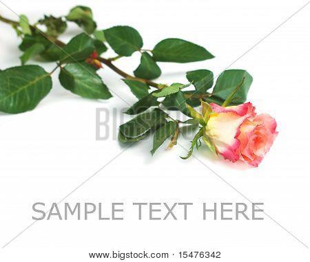 fresh red rose on white