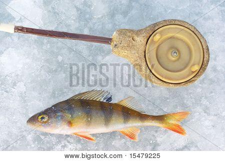 perch fish