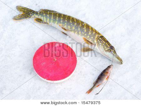 Pike fish on snow