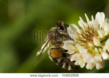 a honey bee pollinating a clover flower