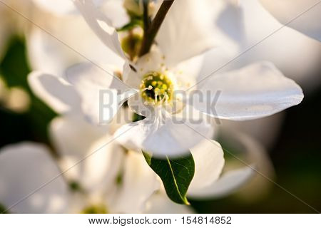 Close up of the pear tree flowers.