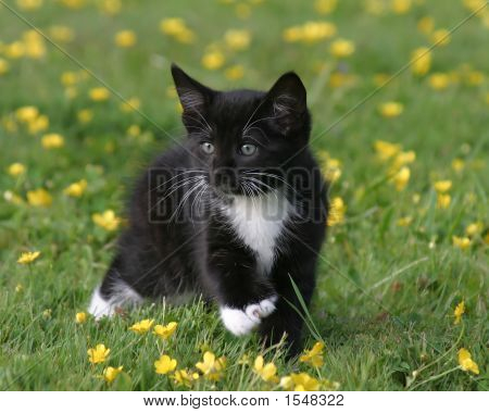 Black And White Kitten Walking In Field Of Buttercups