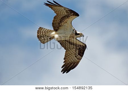 An Osprey soars overhead. These large hawks are comfortable in urban settings and can be found fishing and flying near cities.