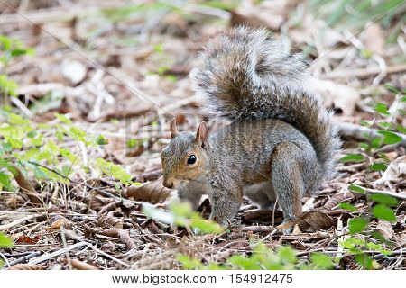 an omnivorous rodent squirrel on the ground