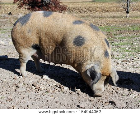 Mature farm hog pig digging in the early morning sun