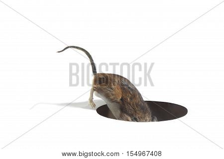 Mouse Searching in Hole in the Floor