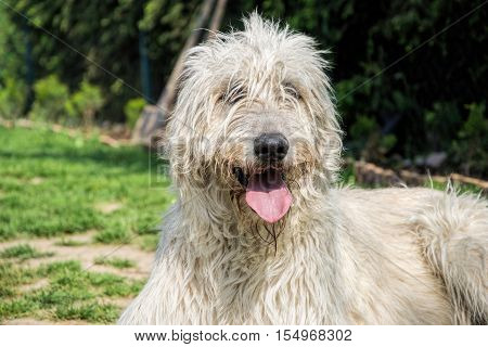 Portrait of beautiful Irish wolfhound dog posing in the garden. Dog lying in grass