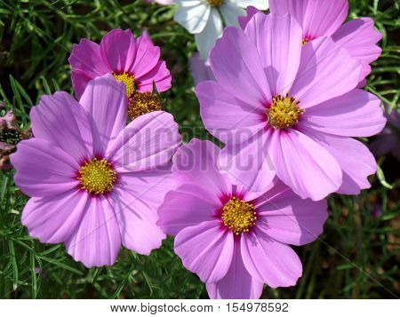 Numerous blooming bright color pink Mexican Aster flowers in the green grass field