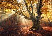 Magical Old Tree. Autumn Forest In Fog With Sun Rays poster