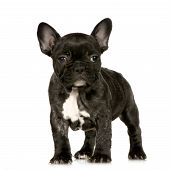 picture of french bulldog puppy  - french Bulldog puppy in front of a white background looking at the camera - JPG