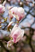 foto of japanese magnolia  - photo of beautiful blossoms of magnolia tree - JPG