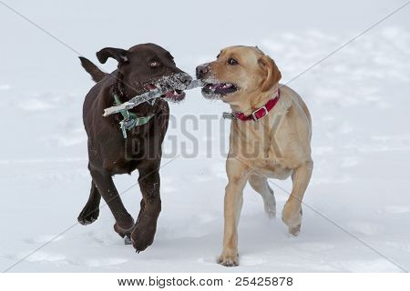 Chocolate and YellowLabrador Retrievers