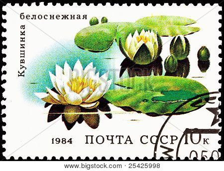 European White Waterlily, Nymphaea Alba