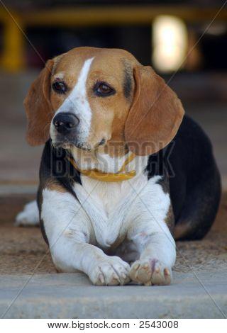 Basset Hound, Beagle