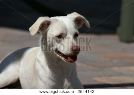 White Puppy Dog