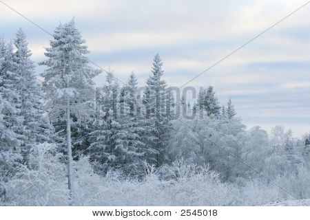 Snow Over A Pine Forest In Mountains