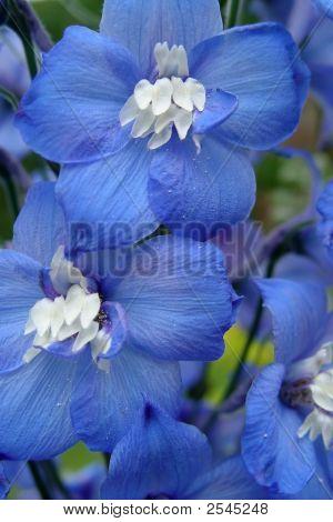 Blue Delphinium I