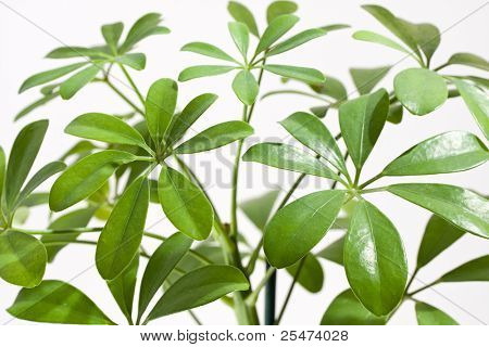 Schefflera arboricola house plant, close up