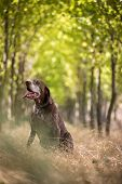 Hunting dog - Outdoor sports. Hunters dog in the woods poster