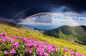 Summer landscape with rainbow after rain. Glade of flowering pink rhododendrons in the mountains. Am poster