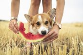Pembroke Welsh Corgi Dog Eating Summer Water Melon From The Hands Of The Owner In Field poster