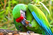 Pair Great Green Military Macaw (ara Militaris Mexicana) Portrait. Live In South America. Popular Gr poster